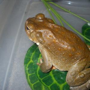 bufo alvarius toad venom for sale