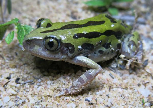 Toad venom for sale